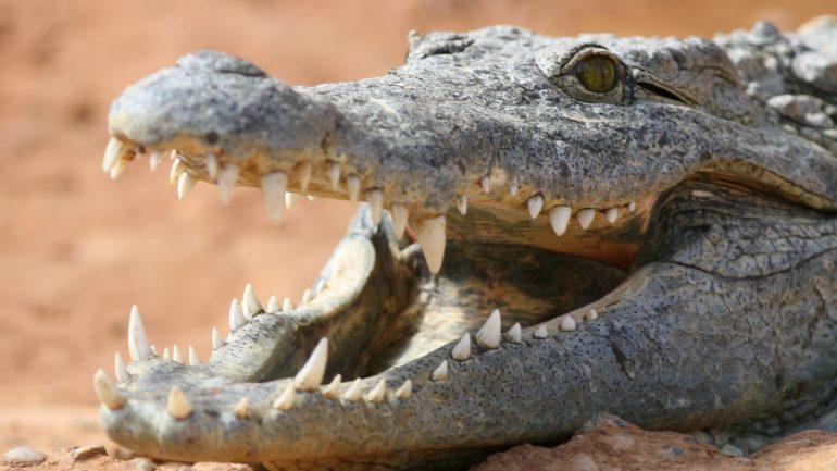 Crocodile du Nil gueule ouverte