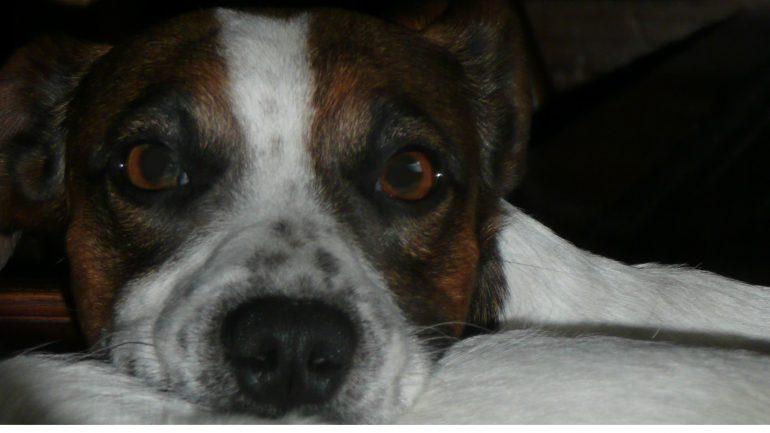 image d'illustration - un chien Jack Russell