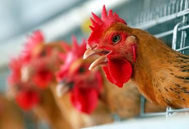 Des poules dans un élevage