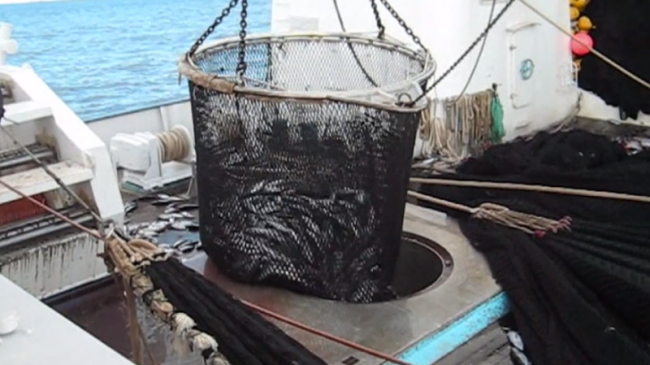 extrait de la video de greenpeace sur la pêche au thon