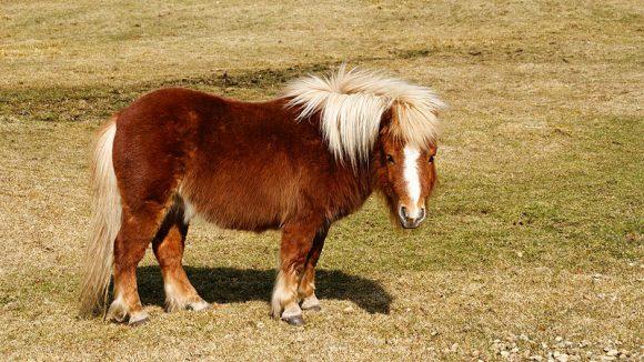 un poney shetland
