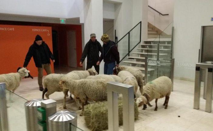 Des moutons dans les locaux de la Dreal
