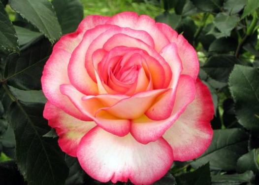 rose pour Lilou