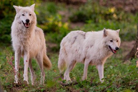 Loups parc de Courzieu (NE PAS REUTILISER CETTE IMAGE)