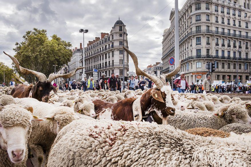 Un loup a-t-il attaqué un veau à moins de 100 km de Lyon ?